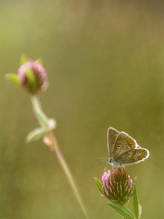 Geranium Argus butterfly