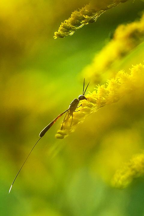 The Gasteruptiidae