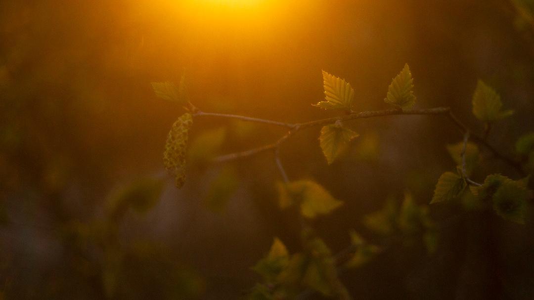 Birch leafs