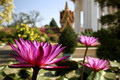 Lotus flower at Royal Palace