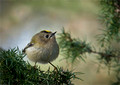 European Goldcrest