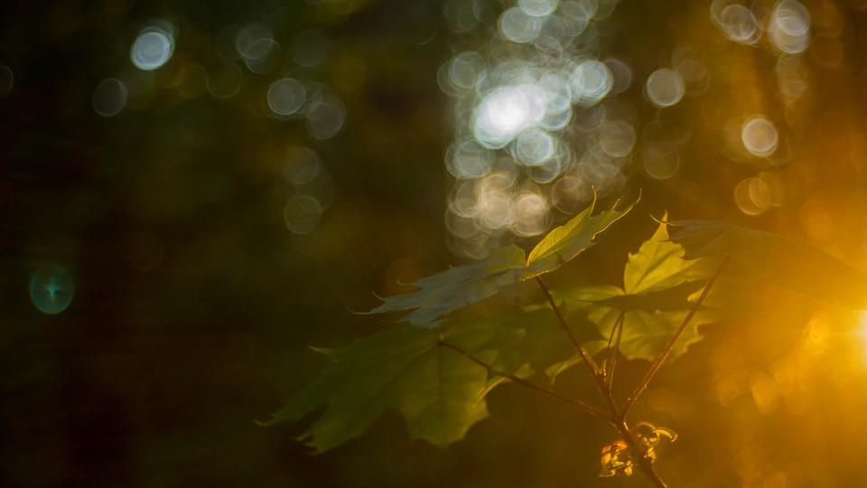 Maple leaf's