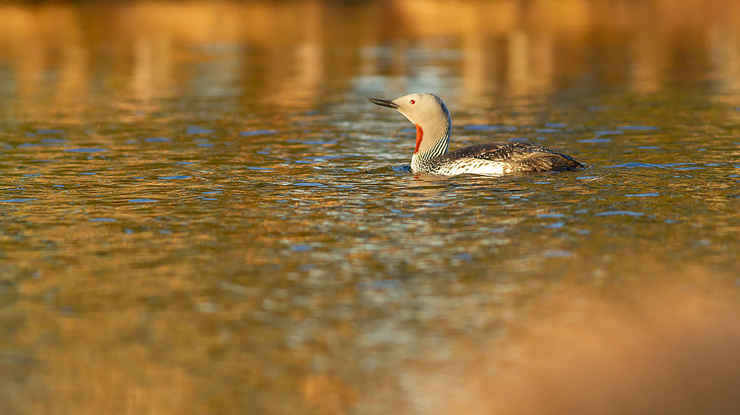 Red-troated loon