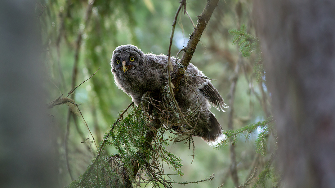 Great Grey Owl (chick)