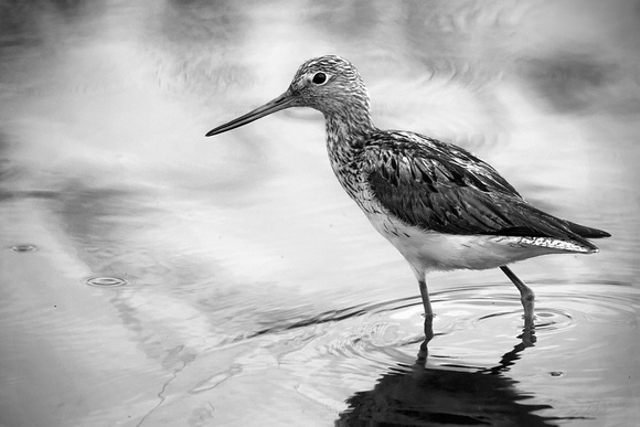 Wood sand piper